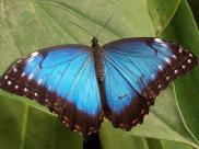 Fot.: Motyl z gatunku Morpho peleides