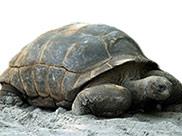 Żółw wielki z Seszeli