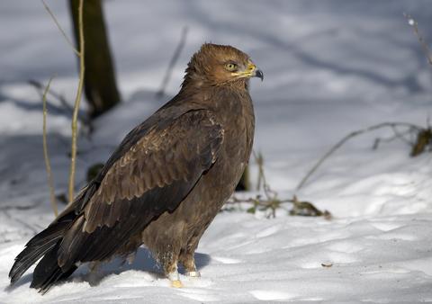 Orlik Krzykliwy Lepiej Chroniony Ptaki Drapieżne W Polsce Ekologiapl
