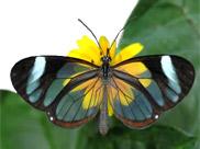 Motyl szklanoskrzydły