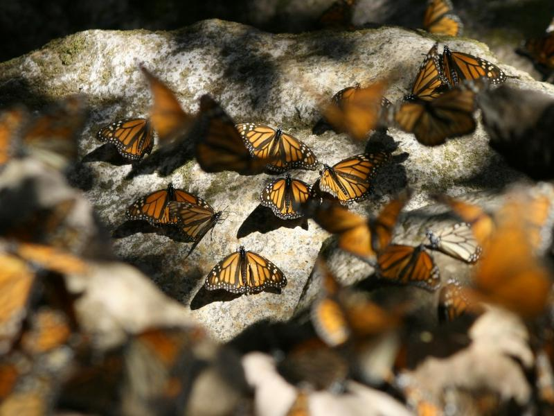 Monarch (Danaus plexippus) By pendens proditor (Monarchs resting on rocksUploaded by shizhao) [CC BY 2.0], via Wikimedia Commons