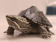 Żółw wonny (piżmowy), Fot. Wikipedia CC