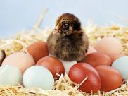 Pisklak Araucany. Araukany są znane z tego, że składają jaja w kolorze niebieskim lub zielonkawym, fot. shutterstock