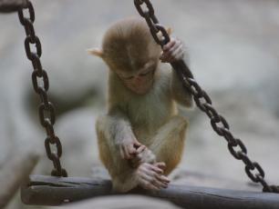 Jaki ma wpływ rozstanie na życie małych rezusów?