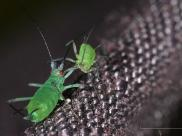 Mszyce (Aphidoidea), autor: Richard Bartz, Munich aka Makro Freak/ Wikipedia
