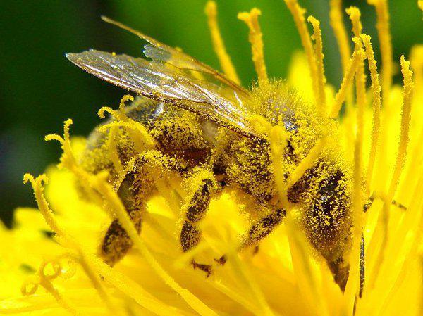Zapylanie kwiatów. Popularni zapylacze -0 pszczoły motyle | ekologia.pl