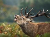 Rozpoczęło się rykowisko, czyli okres godowy jeleni