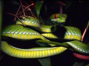 Przedstawiony na zdjęciu osobniki to nowy gatunek węża (Rubeus Cryptelytrops) został odkryty w Azji Południowo-Wschodniej.  © Peter Paul van Dijk / Darwin Initiative/ WWF
