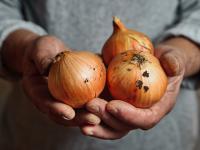 Cebula – warzywo do zadań specjalnych