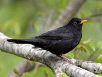 Kos zwyczajny - opis, występowanie i zdjęcia. Ptak kos zwyczajny ciekawostki
