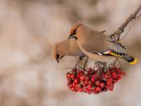 Jemiołuszka - opis, występowanie i zdjęcia. Ptak jemiołuszka ciekawostki