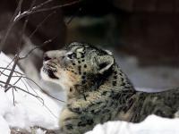 Dlaczego naukowcy śledzą śnieżne leopardy?