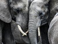 Empatia słoni - słonie pocieszą i przytulą w potrzebie