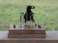 Wrony dorównują inteligencją 7-latkom