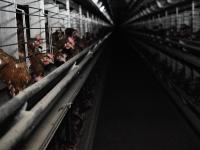 Klatkowa hodowla kur – jak one to znoszą?