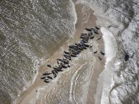 70 fok wylegiwało się w rejonie ujścia Wisły