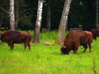 W podkarpackich lasach coraz więcej zwierzyny leśnej