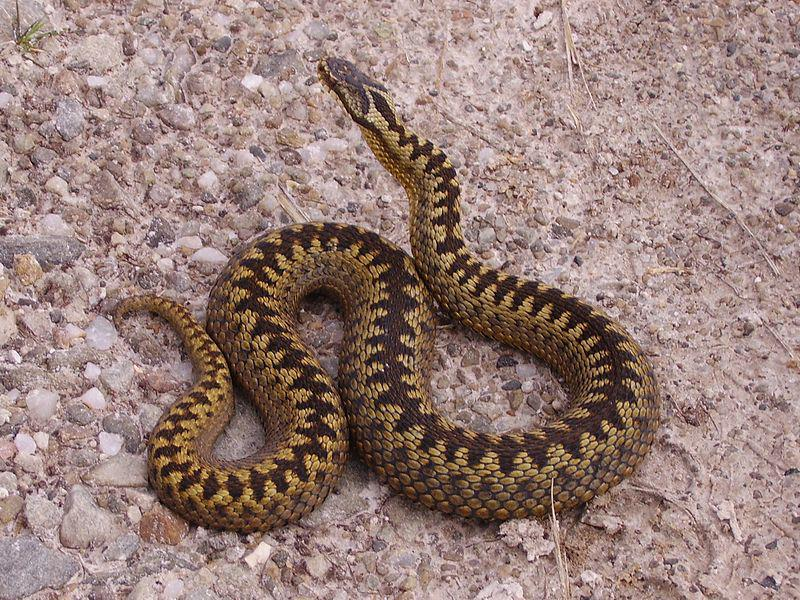 Vipera berus By Highlandtiercel (Own work) [Public domain], via Wikimedia Commons