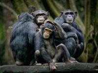 Szympansy również podążają za trendami
