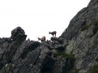Policzyli kozice w Tatrach – z roku na rok jest ich coraz więcej