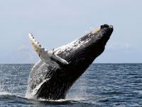W polskim morzu pojawiły się wieloryby