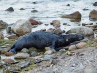 Samiec foki szarej zawitał do Rozewia