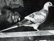 Gołąb wędrowny, By J. G. Hubbard [Public domain], via Wikimedia Commons