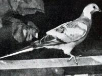 Gołąb wędrowny. Dlaczego wyginął najliczniejszy ptaka świata?
