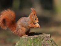 Wiewiórka pospolita - opis, występowanie i zdjęcia. Zwierzę wiewiórka pospolita ciekawostki