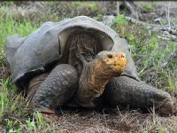 Cudowny powrót wielkiego żółwia z Galapagos
