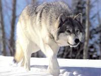 W Szwecji trwa masowy odstrzał wilków