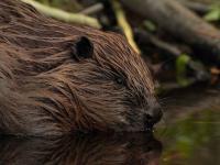 W Tatrach pojawiły się bobry. Czy zdetronizują świstaki?