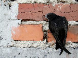 Jerzyk – z kolibrem spokrewniony