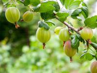 Agrest owoc - właściwości, witaminy i wartości odżywcze agrestu