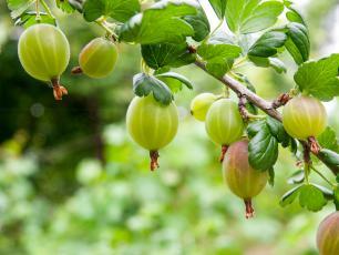 Agrest - owoc, który odpędza nieszczęście