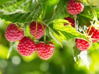 Maliny owoce - właściwości, witaminy i wartości odżywcze malin