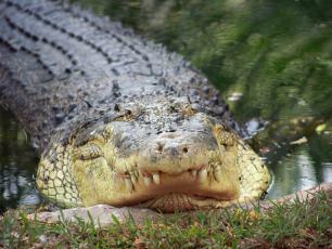 Krokodyle też śpią połową mózgu
