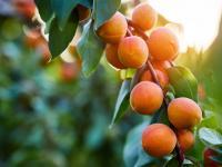 Morele owoce - właściwości, witaminy i wartości odżywcze moreli
