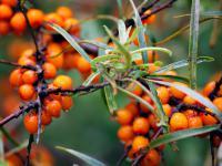 Rokitnik owoc - właściwości, witaminy i wartości odżywcze rokitnika