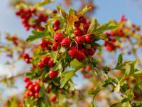 Głóg owoc - właściwości, witaminy i wartości odżywcze głogu