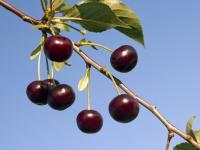 Wiśnie owoce - właściwości, witaminy i wartości odżywcze wiśni