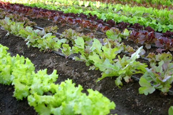Zakładamy Ogródek Warzywny Jak Rozplanować Warzywniak W Ogrodzie