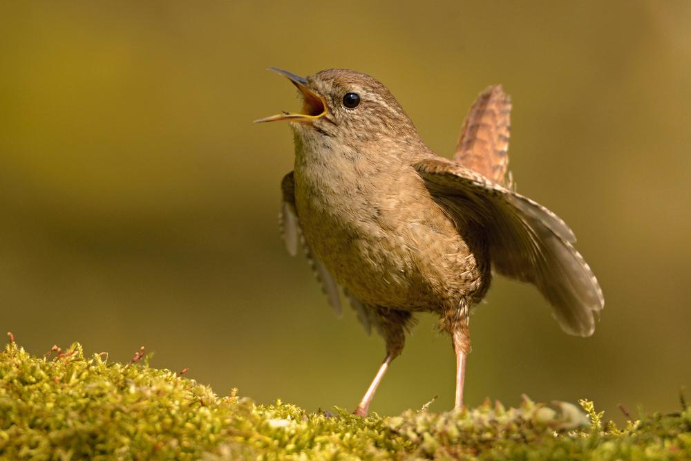 Strzyżyk - opis, występowanie i zdjęcia. Ptak strzyżyk ciekawostki