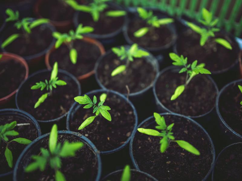Siejemy Pomidory Poradnik Dla Początkujących Ekologiapl