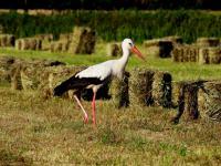 Bocian biały - opis, występowanie i zdjęcia. Ptak bocian biały ciekawostki