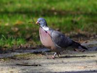 Gołąb grzywacz - opis, występowanie i zdjęcia. Ptak gołąb grzywacz ciekawostki