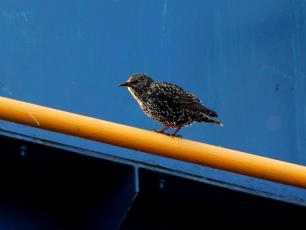 Szpak - opis, występowanie i zdjęcia. Ptak szpak ciekawostki