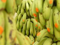 Co kryje się za niską ceną bananów?