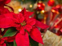 Gwiazda betlejemska – gwiazda świątecznego stołu