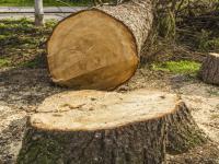 Znikają drzewa! Kto za tym stoi? Wywiad z Danielą Grzesińską z Fundacji alter eko